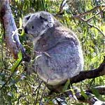 Koala Conservation Centre - Find Attractions