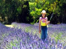 Brayfield Park Lavender Farm - Find Attractions