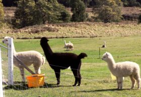 Maydena Country Cabins Accommodation  Alpaca Stud - Find Attractions
