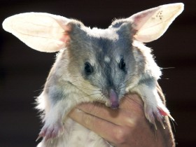 Charleville - Bilby Experience - Find Attractions