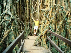 Curtain Fig Tree - Find Attractions