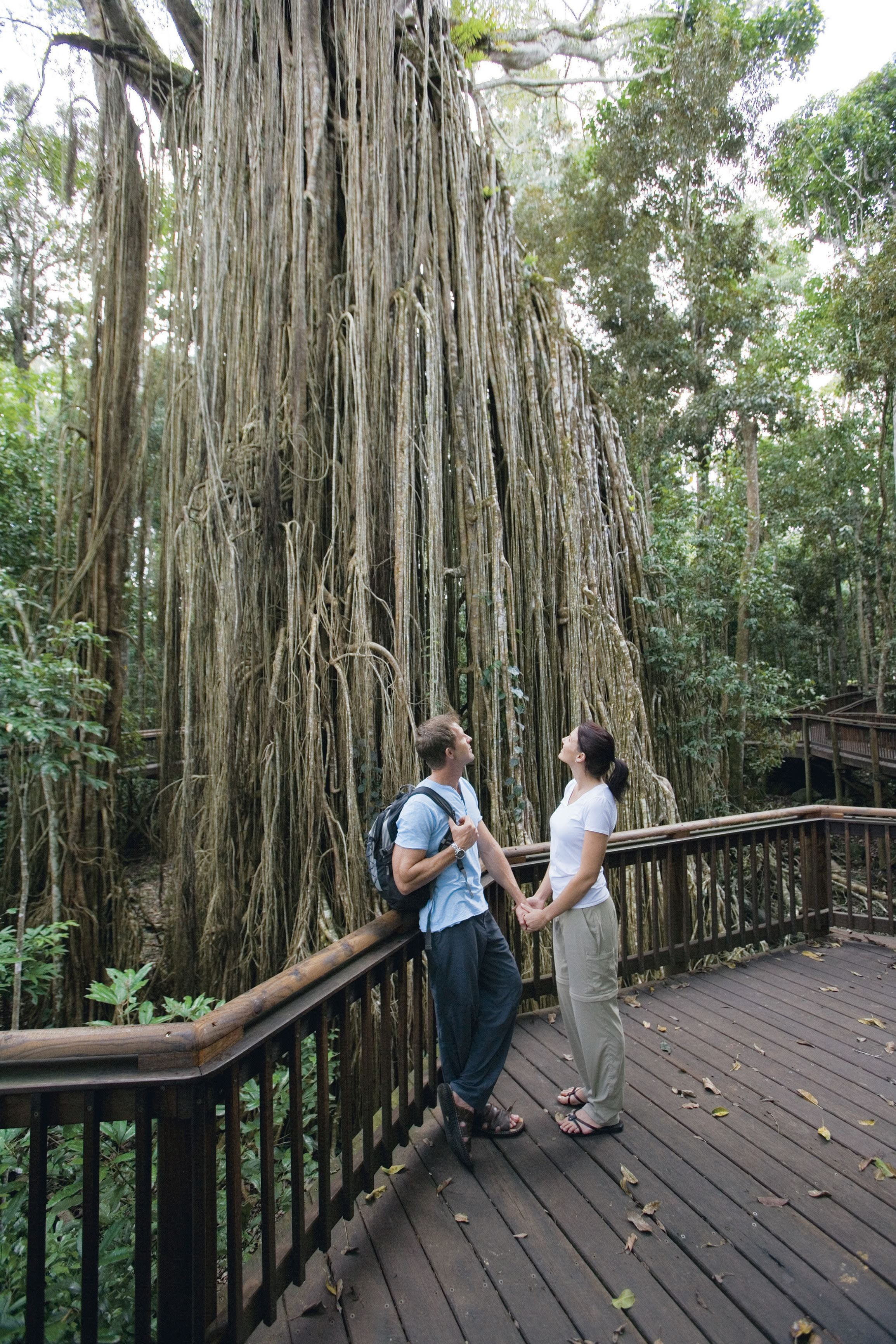 Curtain Fig Tree Yungaburra - Find Attractions