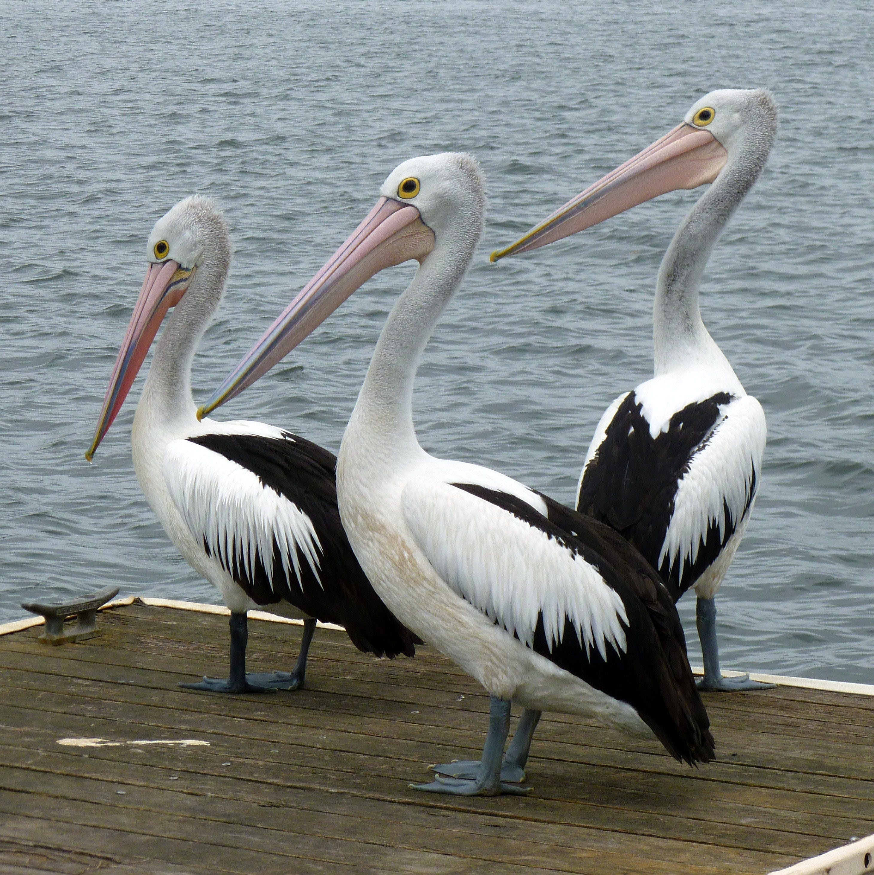 Pelican Feeding - Find Attractions